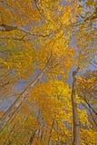 Смотреть вверх в высокие деревья в падении стоковые изображения