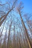 Смотреть вверх в гиганты леса твёрдой древесины стоковое фото