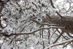 Смотреть вверх в дерево сосенки. Стоковая Фотография RF