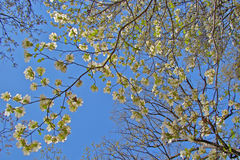 Смотреть вверх на голубом небе через цветение кизила Стоковые Фото