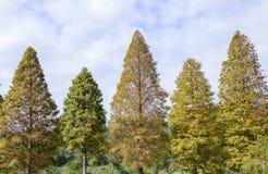 Смотреть вверх на кипарисах в осени Стоковая Фотография RF