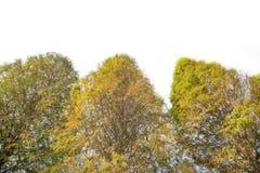 Смотреть вверх на кипарисах в осени Стоковое фото RF