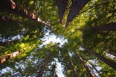 Смотреть вверх на Redwoods Стоковое Изображение