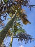 Смотреть вверх пальмы на голубом небе Стоковое фото RF