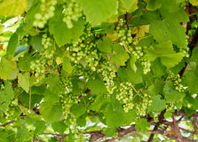 Смотреть вверх снизу на зеленых виноградинах на лозе Стоковые Фото