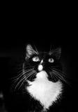 Смотреть вверх черно-белого кота на черной предпосылке стоковые фото