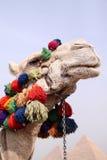 смотреть верблюда Стоковое Фото