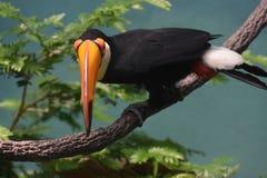 Смотреть вниз с Билла птицы Toucan Стоковая Фотография