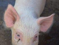 Смотреть в глаза и уши розовой свиньи Стоковые Изображения RF