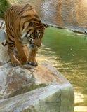 смотреть детенышей воды тигра Стоковое Фото