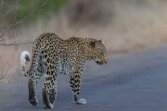 Смотреть леопарда идя назад стоковое фото
