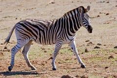 смотреть зебру Стоковые Изображения RF