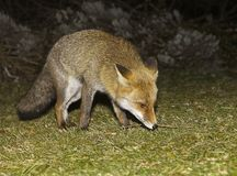 смотреть лисицы еды Стоковые Фотографии RF