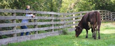 Смотреть корову стоковое фото