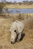 смотреть на пасущ белизну носорога Стоковое фото RF
