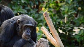 Смотреть общего шимпанзе сидя вокруг в дереве акции видеоматериалы