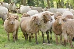 смотреть овец Стоковые Изображения