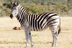 Смотреть довольно - зебру Burchell Стоковые Изображения RF