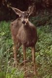 смотреть оленей камеры младенца Стоковые Фотографии RF