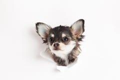 Смотреть домашнего животного породы предпосылки хода чихуахуа собаки белый Стоковое фото RF