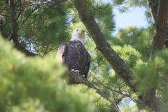 смотреть орла Стоковые Фото