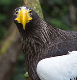 Смотреть орла моря Стоковые Изображения