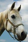 смотреть лошадей камеры Стоковое Изображение RF