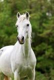смотреть лошадей камеры Стоковая Фотография RF