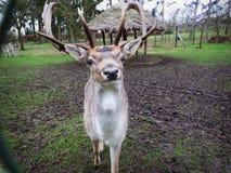 смотреть оленей камеры Стоковые Изображения RF