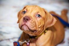 Смотреть питбуля собаки Стоковые Фотографии RF