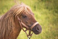 Смотреть пони (caballus ferus Equus) женский вспугнутый Стоковая Фотография