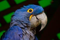 Смотреть попугая ары гиацинта голубой Стоковое Изображение RF