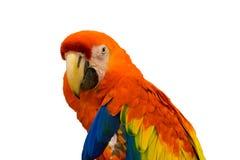 Смотреть попугая ары оранжевый Стоковое Изображение