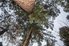 Смотреть прямо вверх на 2 возвышаясь вечнозеленых деревьях - перспективе стоковое изображение rf