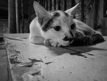 смотреть унылого кота милый черно-белый Стоковая Фотография RF