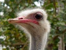 Смотреть любознательного страуса головной вокруг Стоковые Изображения