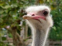 Смотреть любознательного страуса головной вокруг Стоковая Фотография