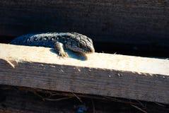Смотреть ящерицы сада Эти переменчивые ящерицы территориальны Стоковые Фотографии RF