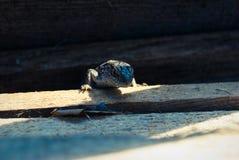 Смотреть ящерицы сада Эти переменчивые ящерицы территориальны Стоковая Фотография RF