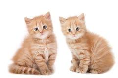 Смотреть 2 малый котят Стоковые Изображения RF