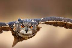 Смотрите на летящую птицу с открытыми крылами в луге травы, лицом к лицу портрете мухы нападения детали, оранжевом лесе на заднем стоковое изображение