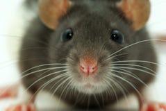 смотрит крысу вы стоковая фотография