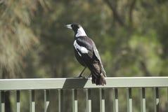 смотрит magpie вне Стоковые Изображения RF