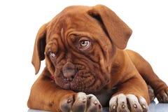 Смотрят, что встает на сторону застенчивая маленькая собака щенка пока лежащ вниз стоковые фото
