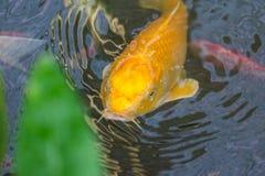 Смотрят, что зеленеет рыба золота в малом пруде листья Стоковые Фотографии RF
