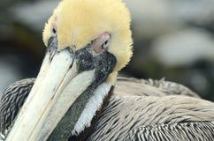 смотрящ пеликана вы Стоковое Изображение RF