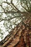 смотрящ ствол дерева сосенки высокорослый вверх Стоковое Фото
