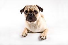 смотрящ удивленный pug Стоковая Фотография