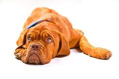 смотрящ щенка вверх стоковое изображение rf