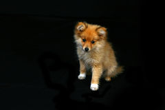 смотрящ pomeranian щенка унылого очень Стоковые Изображения RF